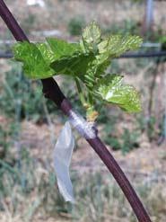 Graft on Grape Vine